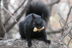 black squirrel removal Vaughan
