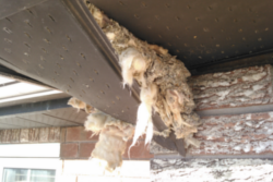 complete wildlife exclusion and removal Vaughan