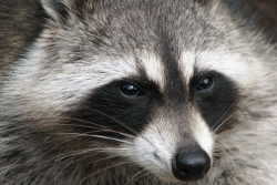 raccoon removal and control Vaughan