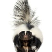 skunks removal vaughan services