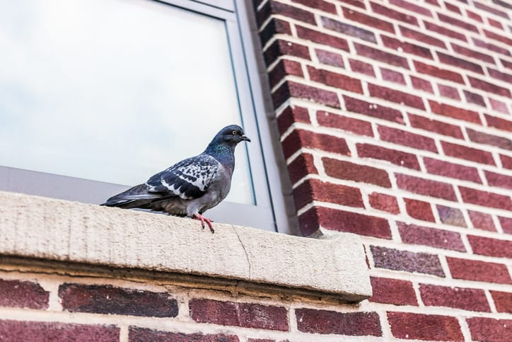 Bird-wildlife-removal-vaughan