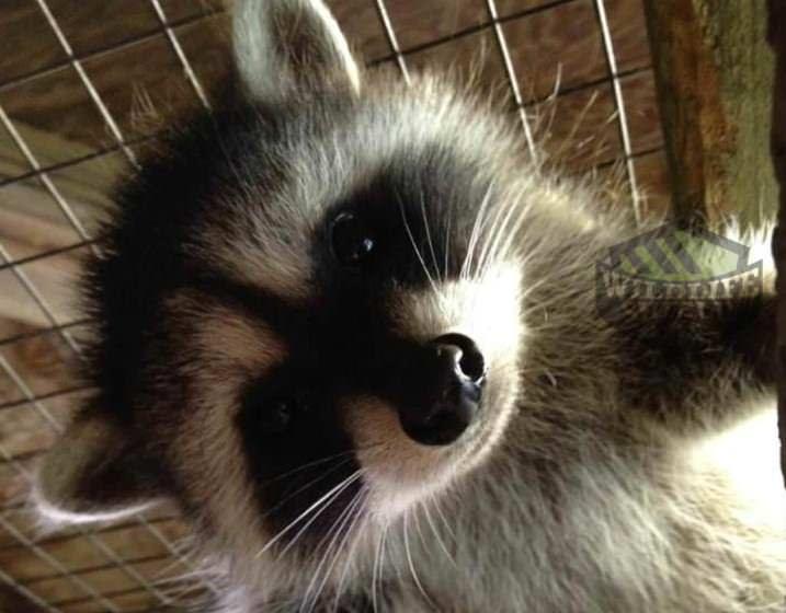 raccoon-baby-wildlife-removal-vaughan
