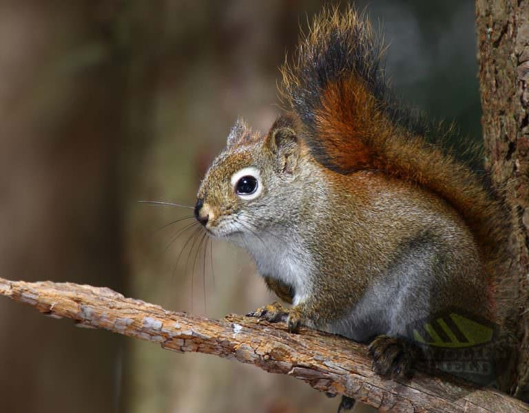 red-squirrel-wildlife-removal-vaughan