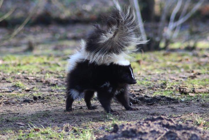 skunk-wildlife-removal-vaughan